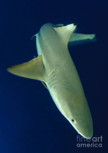 Carcharhinidae Photograph - Blacktip Reef Shark In Motion, Solomon by Steve Jones