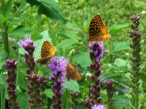 Liatris Spicata Photograph - Blazing Star Butterflies by Darlene Bell