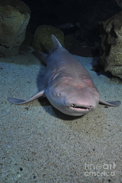 Photograph - Blind Shark, Blue Zoo Aquarium by Mathieu Meur
