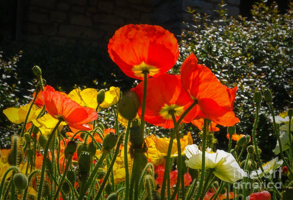 Botanica Photograph - Bloomin Poppies by Fred Lassmann