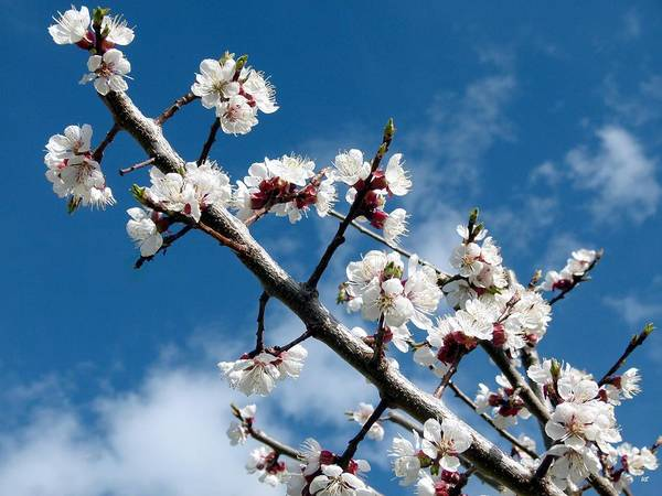 Wall Art - Photograph - Blooming Apricot by Will Borden