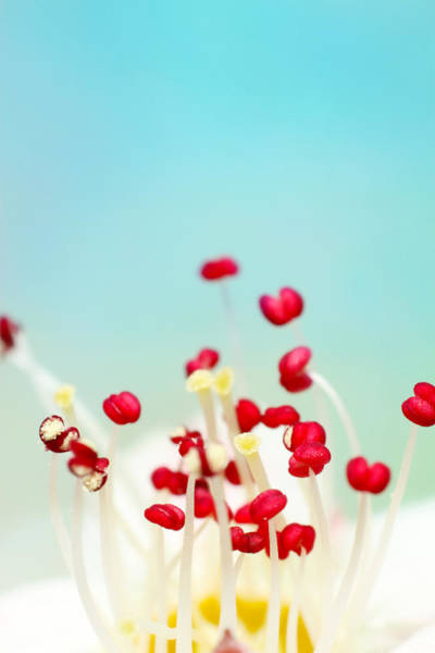 Stamens Photograph - Blooming Candy Red by Sharon Johnstone