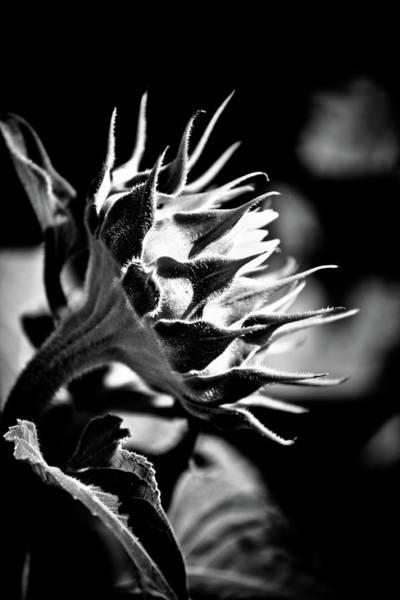 Hakon Photograph - Blooming Sunflower by Hakon Soreide