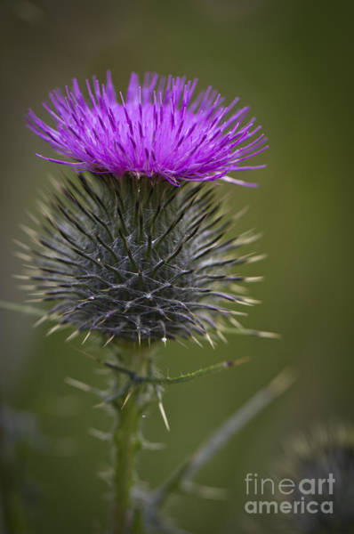 Photograph - Blooming Thistle by Clare Bambers