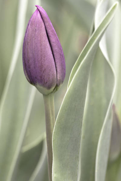 Photograph - Blooming Tulip by Keith Allen