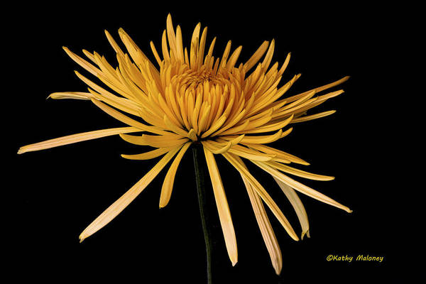 Photograph - Blooming Yellow by Kathy Maloney
