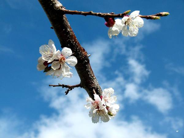 Wall Art - Photograph - Blossoming Apricot by Will Borden
