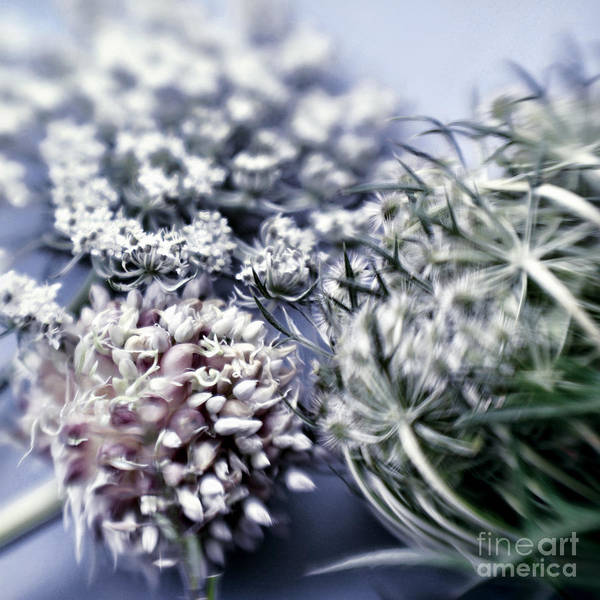 Chive Photograph - Blossoms by HD Connelly