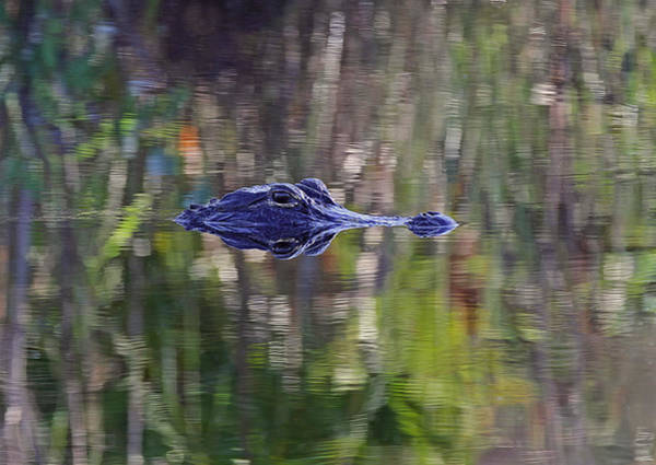 Photograph - Blue Alligator by Juergen Roth