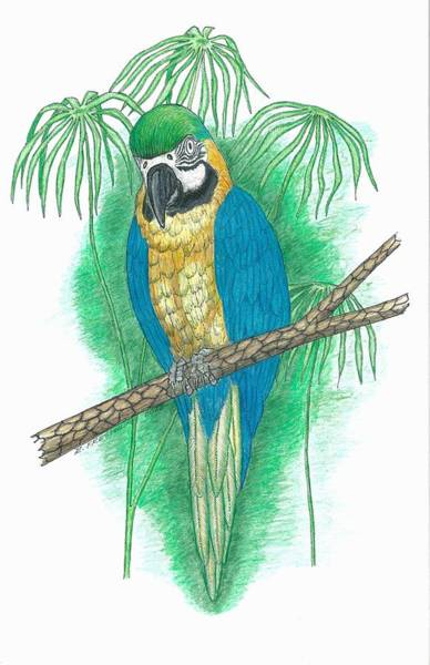 Blue Parrot Drawing - Blue And Gold Macaw by Richard Freshour
