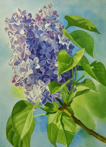 Lilac Painting - Blue And Lavender Lilacs by Sharon Freeman