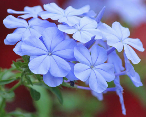 Plumbaginaceae Photograph - Blue Beauty by Becky Lodes