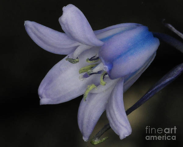 Wall Art - Photograph - Blue Bell by Paul Ward