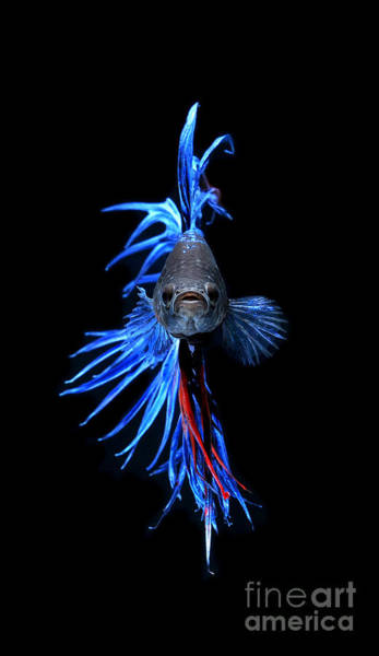 Fish Tank Photograph - Blue Betta Fish by Visarute Angkatavanich