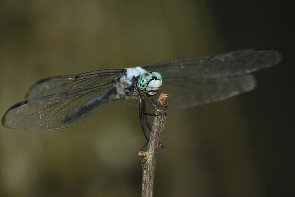 Dasher Photograph - Blue Dasher 8668 3297 by Michael Peychich