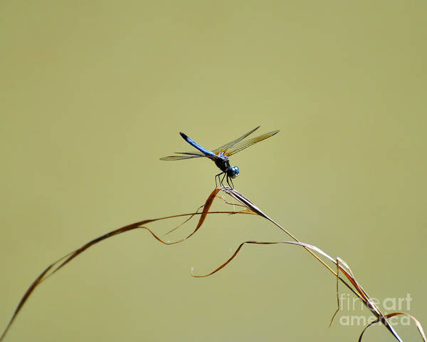 Dasher Photograph - Blue Dasher Dragonfly by Al Powell Photography USA