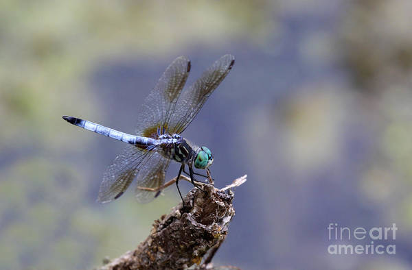 Dasher Photograph - Blue Dasher Dragonfly by Chris Hill
