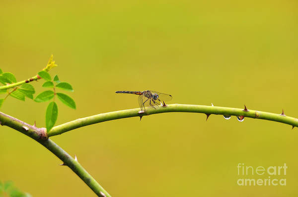 Dasher Photograph - Blue Dasher Female by Al Powell Photography USA