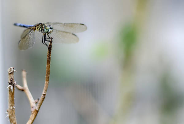 Photograph - Blue Dragonfly by Heather Applegate