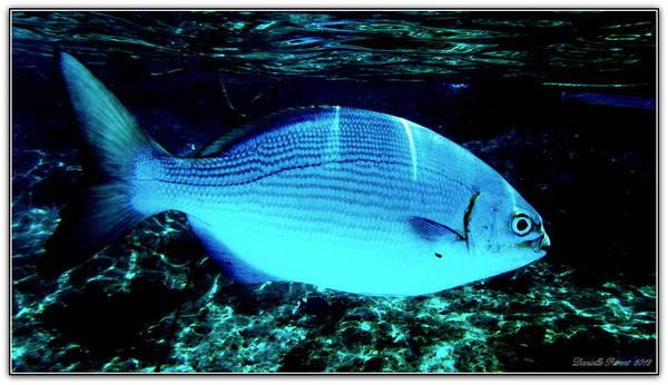 Photograph - Blue Fish Encounter by Danielle  Parent