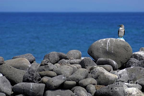 Wall Art - Photograph - Blue-footed Booby On A Rock By Ocean by Sami Sarkis