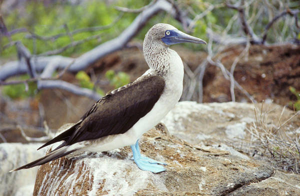 Blue Footed Booby Wall Art - Photograph - Blue-footed Booby by Peter Scoones