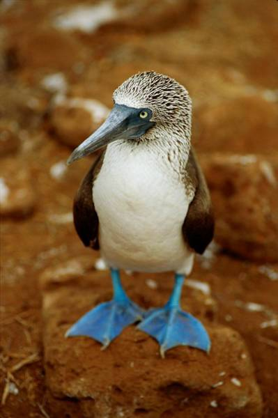 Blue Footed Booby Wall Art - Photograph - Blue-footed Booby Sula Nebouxii by James P. Blair