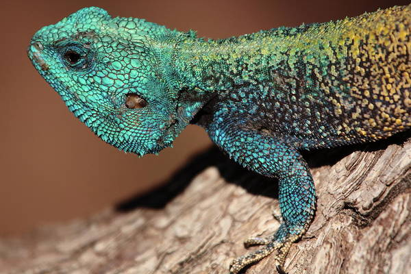 Scale Photograph - Blue-headed Tree Agama by Rich Lewis