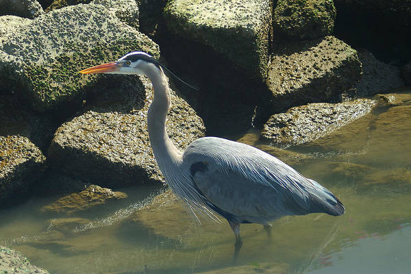 Photograph - Blue Heron by David Armentrout