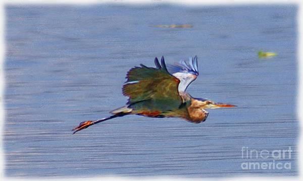 Photograph - Blue Heron In Flight  by John  Kolenberg