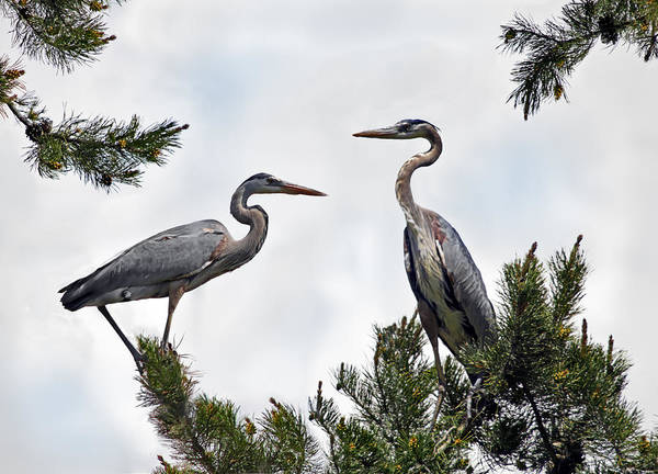 Great Blue Heron Wall Art - Photograph - Blue Herons by Leland D Howard