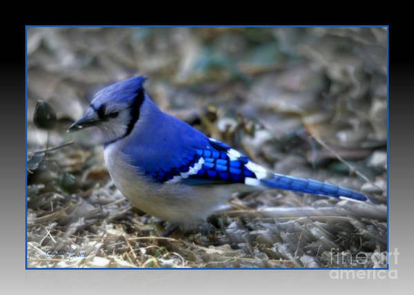 Photograph - Blue Jay by Donna Bentley