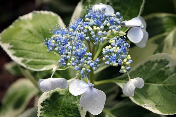 Photograph - Blue Lace 2 by Deborah Hughes