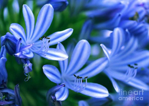 Photograph - Blue Lily Of The Nile by Sabrina L Ryan