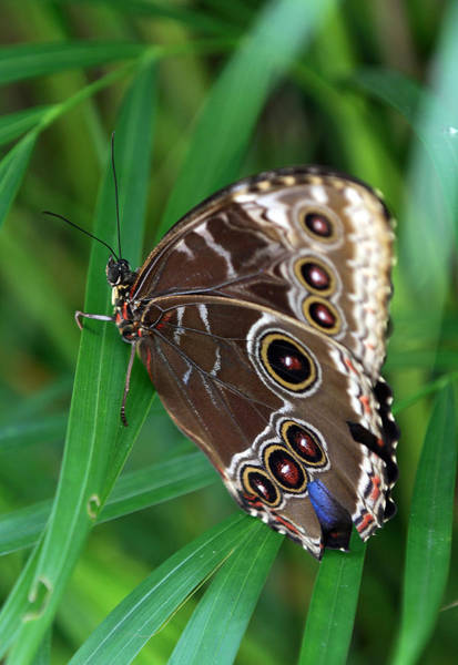 Photograph - Blue Morpho Butterfly by Juergen Roth