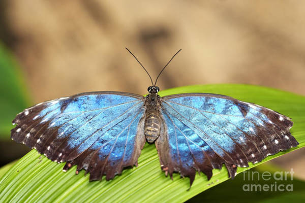 Wall Art - Photograph - Blue Morpho Butterfly  by Michal Boubin