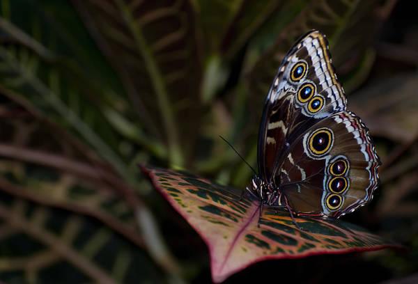 Photograph - Blue Morpho Morpho Peleides - Ventral - II by Robin Webster