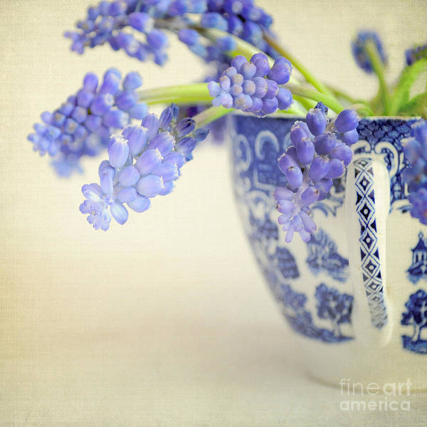 Wall Art - Photograph - Blue Muscari Flowers In Blue And White China Cup by Lyn Randle