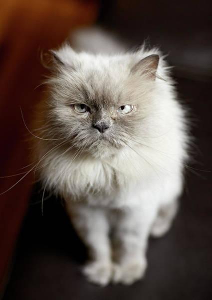 Wall Art - Photograph - Blue Point Himalayan Cat Looking Irritated by Matt Carr