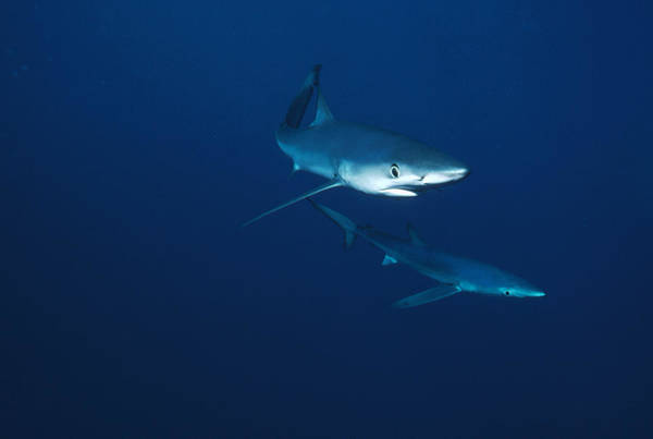 Carcharhinidae Photograph - Blue Shark Prionace Glauca Pair by Flip Nicklin