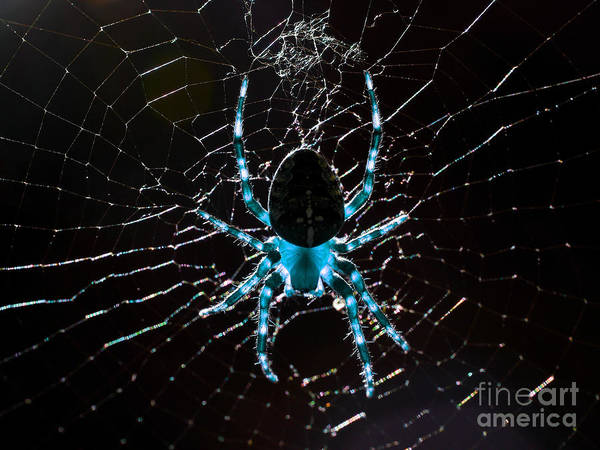 Photograph - Blue Spider by Wingsdomain Art and Photography