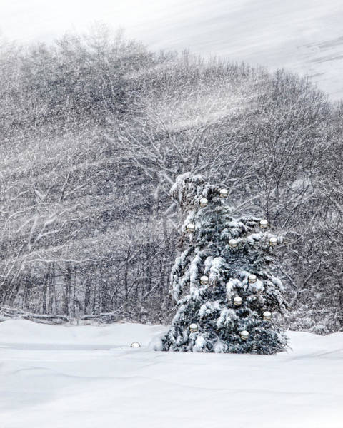 Photograph - Blue Spruce by Robin-Lee Vieira