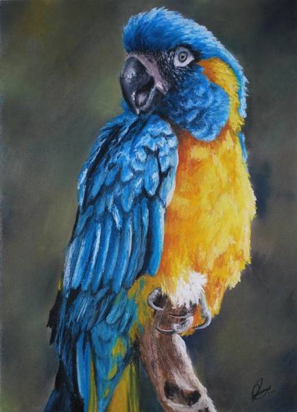 Blue Parrot Drawing - Blue-throated Macaw by Jenny Lei
