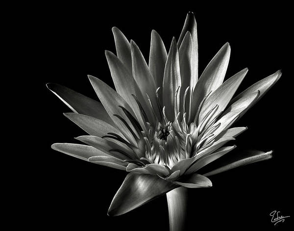 Wall Art - Photograph - Blue Water Lily In Black And White by Endre Balogh