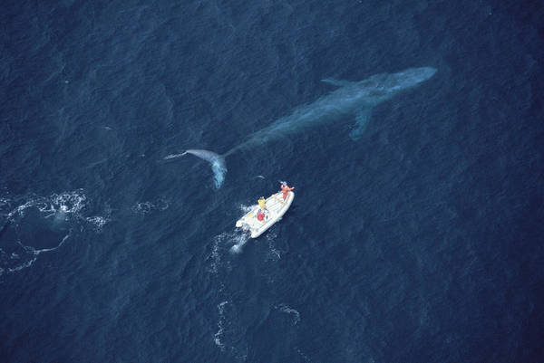 Photograph - Blue Whale With Research Boat Santa by Flip Nicklin