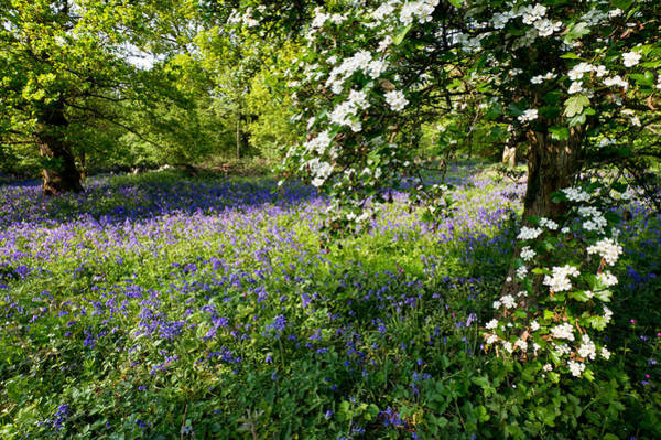Photograph - Bluebells And May by Gary Eason