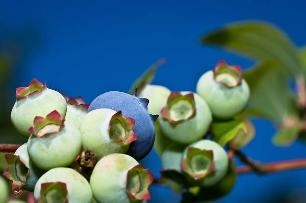 Wall Art - Photograph - Blueberries And Sky by Lori Coleman