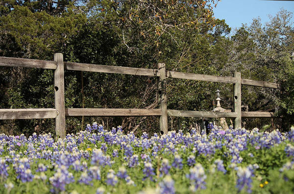 Photograph - Bluebonnets In Bloom by Sarah Broadmeadow-Thomas