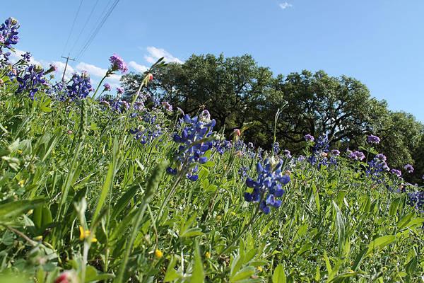 Photograph - Bluebonnets Of Texas II by Sarah Broadmeadow-Thomas