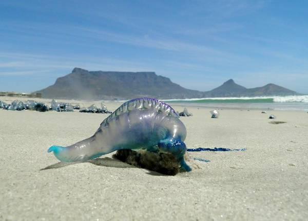 Siphonophore Photograph - Bluebottle by Werner Lehmann